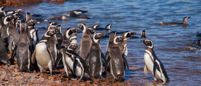 Pinguine im Meer vor Argentinien