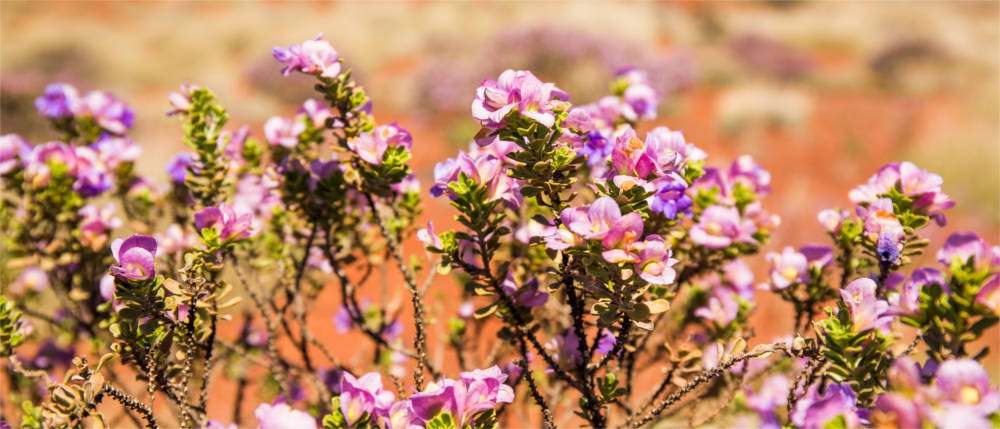 Flora im Golden Outback