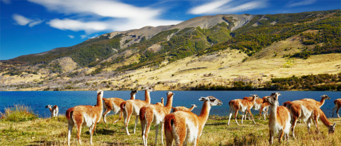 Guanacos im Torre del Paine National Park in Chile