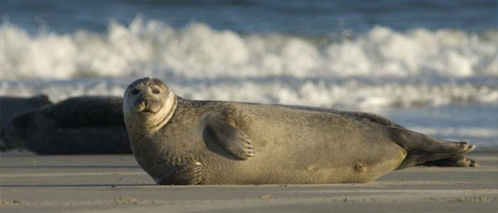 Wilde Robben an deutschen Küsten