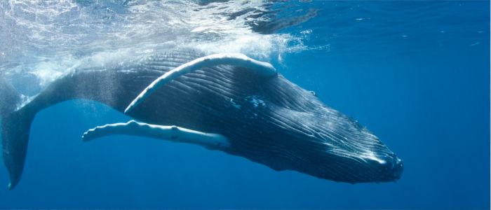 Buckelwale im Meer vor der dominikanischen Republik