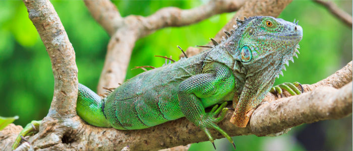 Tiere in der Dominikanischen Republik Leguan