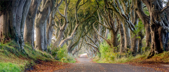 Dark Hedges in Ballymoney
