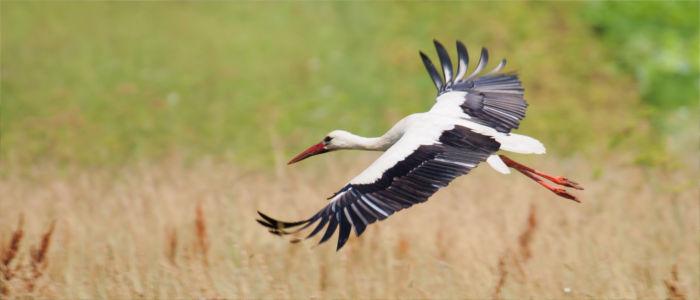 Storch in Litauen