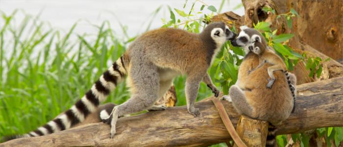 Lemuren Affen in Madagaskar