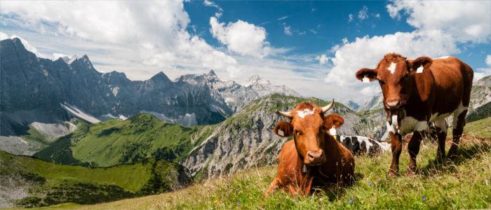 Kühe beim Grasen in den Bergen Österreichs