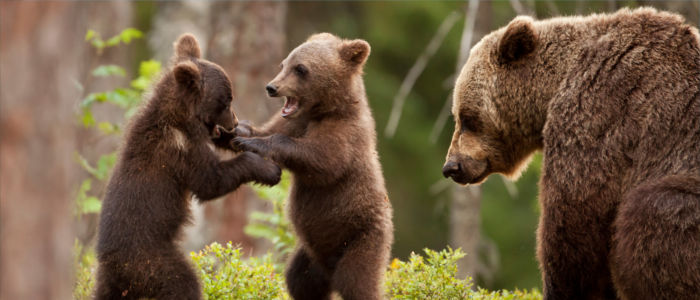 Braunbären beim Spielen im russischen Wald