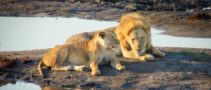 Löwen in Sambia