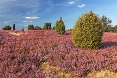 Heidelandschaft in Norddeutschland