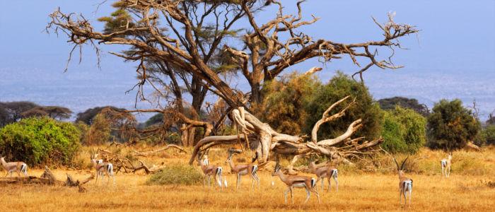 Gazellen in der Wildnis von Südafrika