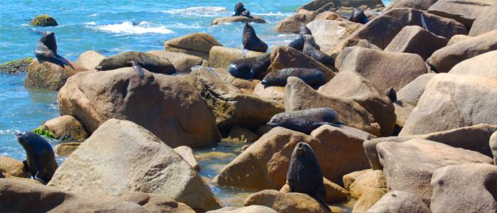 Seelöwenkolonie in Uruguay