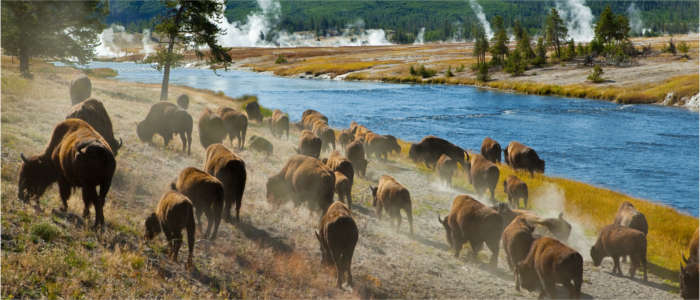 Bisonherde im Yellowstone Nationalpark